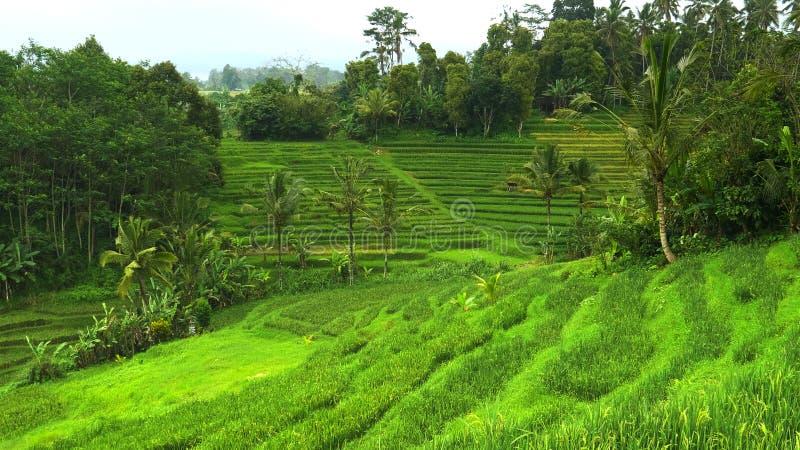Jeunes usines de riz et cocotiers près des terrasses Bali image stock