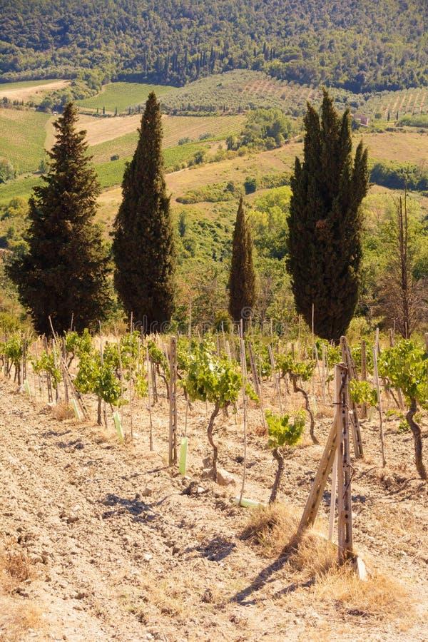 Jeunes vignes s'élevant avec des pins image stock