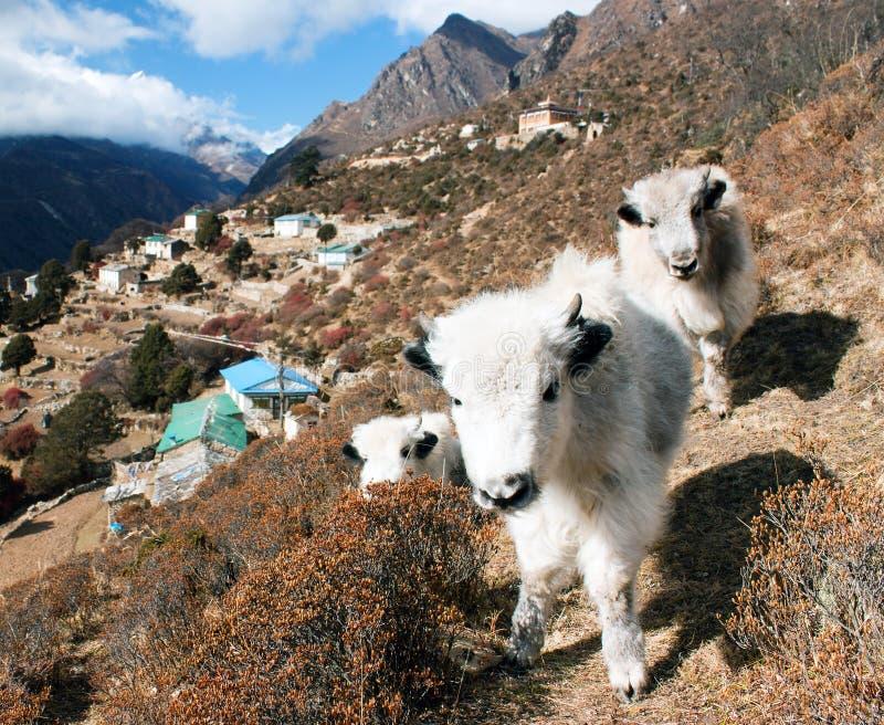 Jeunes yaks et village de Portse - manière au camp de base d'Everest images libres de droits