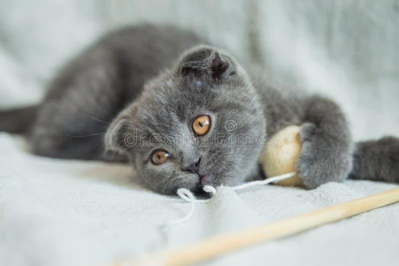 Jeux aux oreilles tombantes de chaton Chat de l'Ecosse, chaton Petit chaton espiègle photo libre de droits