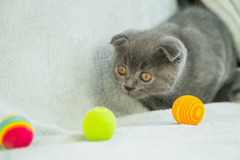 Jeux aux oreilles tombantes de chaton Chat de l'Ecosse, chaton Petit chaton espiègle photographie stock