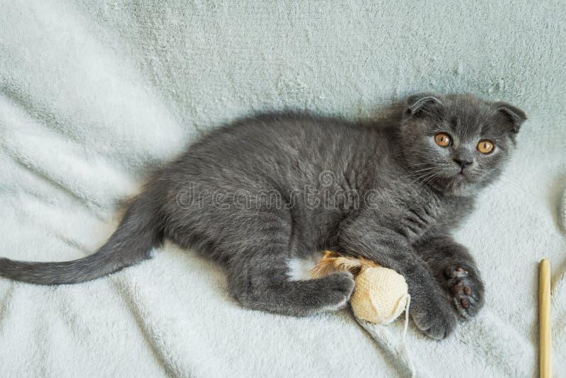 Jeux aux oreilles tombantes de chaton Chat de l'Ecosse, chaton Petit chaton espiègle photographie stock libre de droits