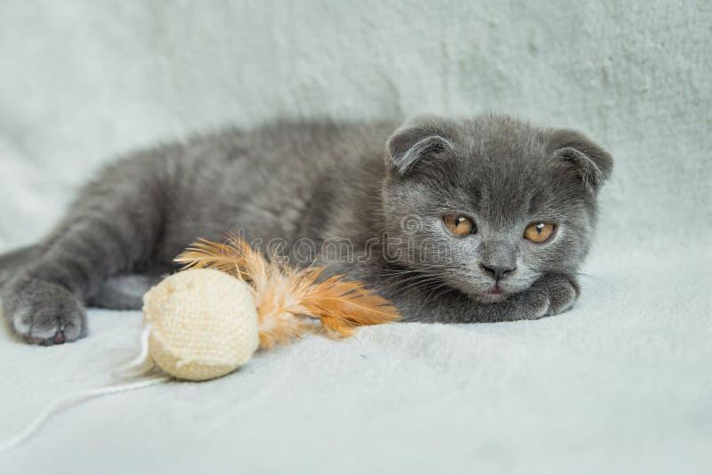Jeux aux oreilles tombantes de chaton Chat de l'Ecosse, chaton Petit chaton espiègle image libre de droits