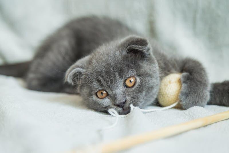 Jeux aux oreilles tombantes de chaton Chat de l'Ecosse, chaton Petit chaton espiègle photos libres de droits