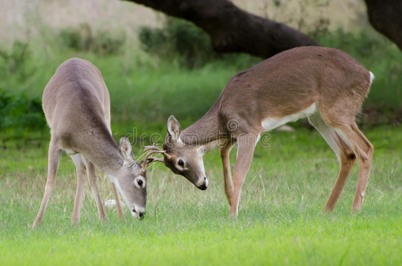 Download Jeux de cerfs communs photo stock. Image du faune, traînée - 77156386