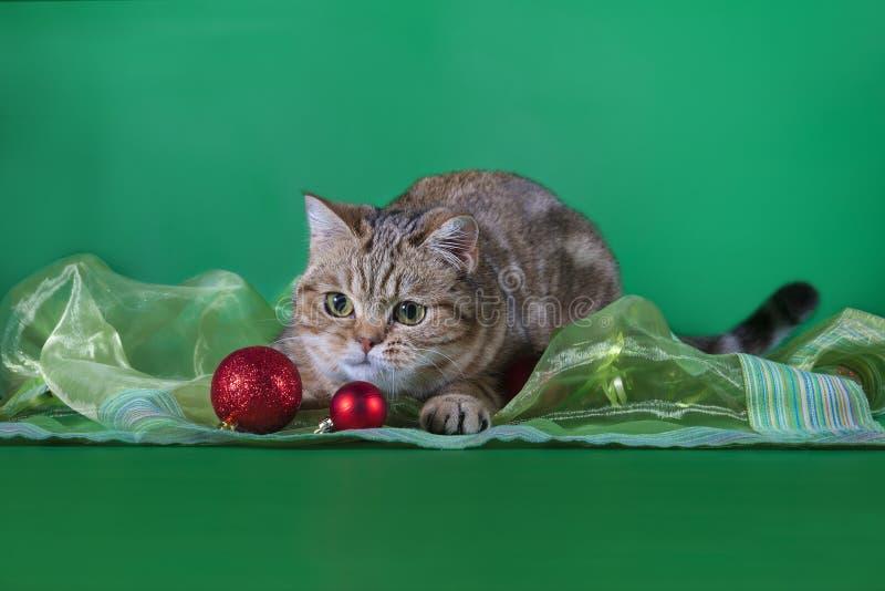 Jeux de chat de pli d'écossais avec des boules de Noël photos libres de droits