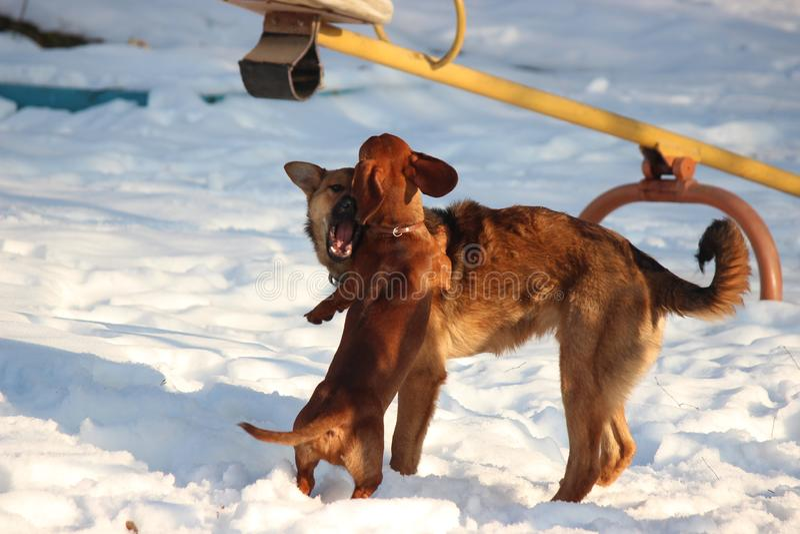 Jeux de deux chiens bruns pendant l'hiver dans la cour Teckel et course métisse et s'amasser image stock