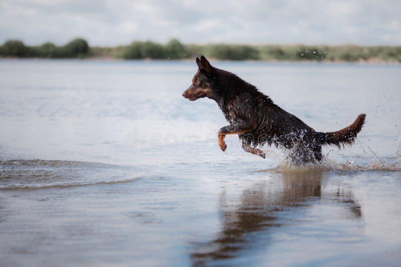 Jeux de Kelpie de chien photo libre de droits