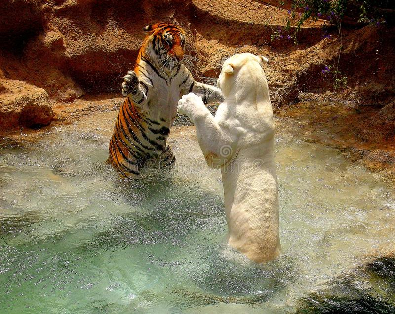 Jeux de tigres photo stock