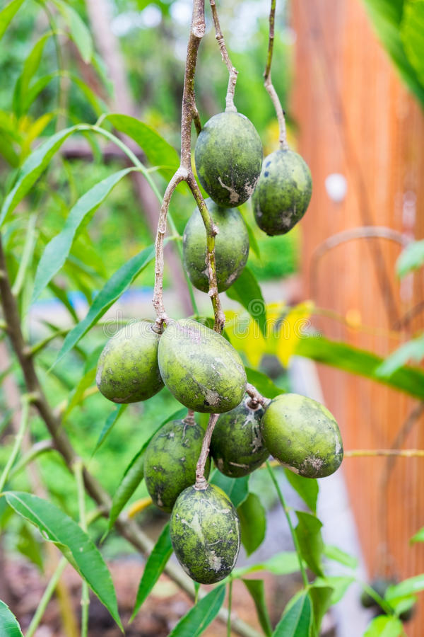 Jew's plum, Otatheite apple, Golden apple, plum on tree. Jew's plum, Otatheite apple, Golden apple, plum fruit and herb on tree royalty free stock images