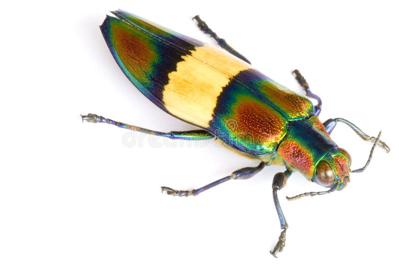 Jewel Beetle. Macro image of a Jewel Beetle, known scientifically as Chrysochroa ephippigera, found at the world's oldest tropical rainforest of Cameron royalty free stock photography