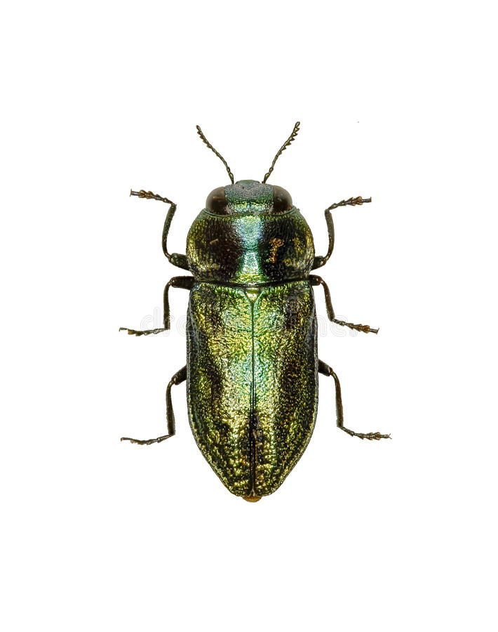 Jewel Beetle Anthaxia on white Background royalty free stock images