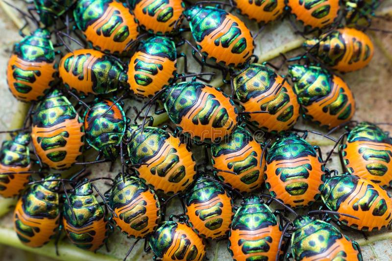 Download Jewel beetle swarm stock image. Image of larva, thailand - 33509035