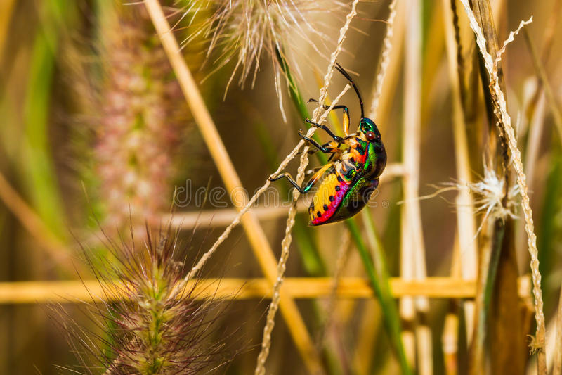 Jewel Bug Stock Photos