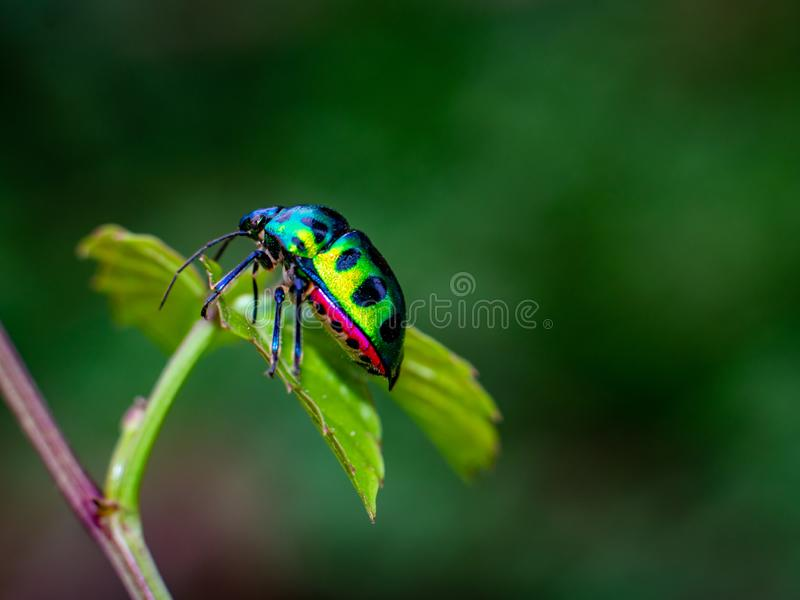 Jewel Bug on beautiful leaves in forest royalty free stock photography