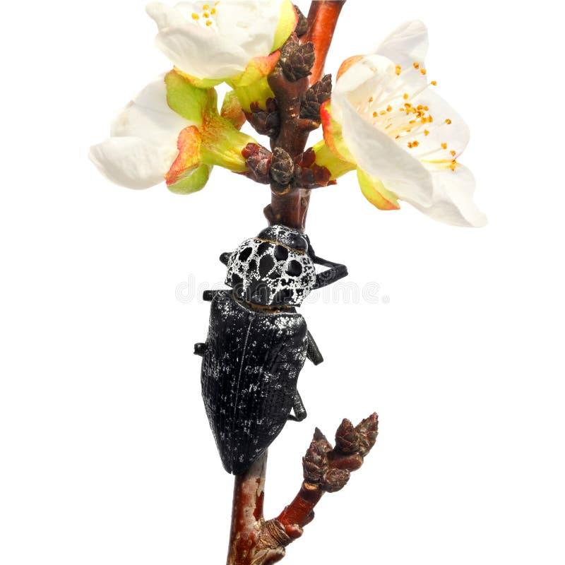 Download Jewel el escarabajo imagen de archivo. Imagen de criatura - 42435229