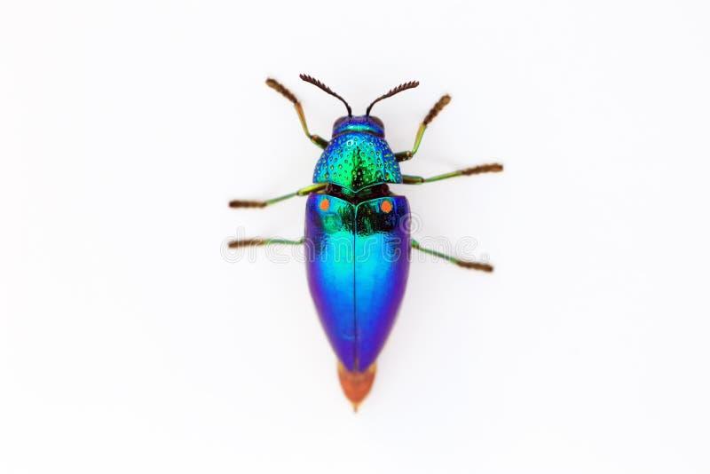 Jewel l'aequisignata de Sternocera de scarabée d'isolement sur le fond blanc photographie stock
