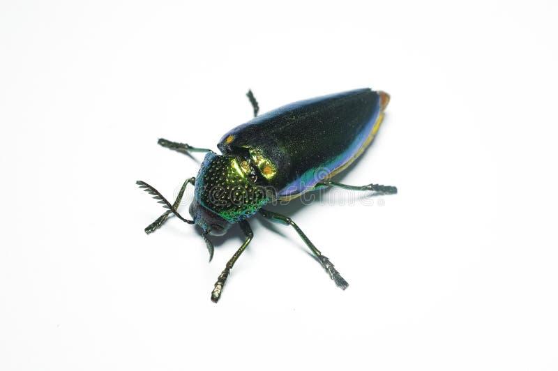 Jewel le scarabée, scarabée métallique de bois-sondage en Thaïlande photos stock