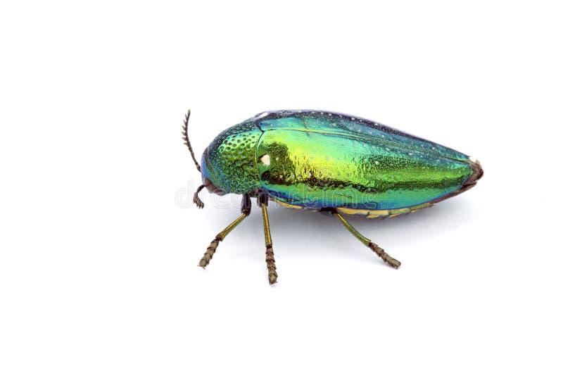 Jewel o besouro ou o besouro metálico da madeira-perfuração em 3Sudeste Asiático foto de stock