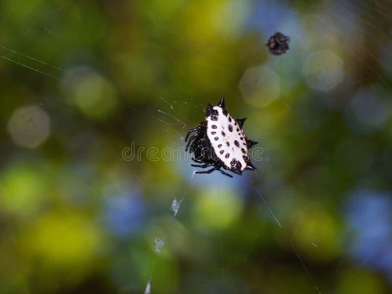 Download Jewel pająk spiny kraba obraz stock. Obraz złożonej z liść - 32203