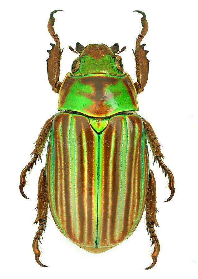 Free Jewel Scarab Beetle Chrysina Adelaida From Mexico Royalty Free Stock Photo - 46184055