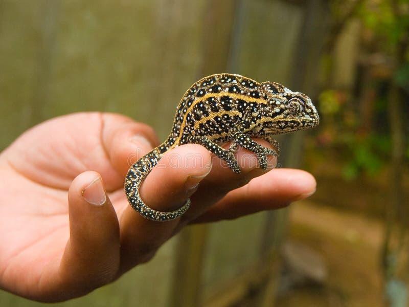 jeweled kameleon fotografia royalty free