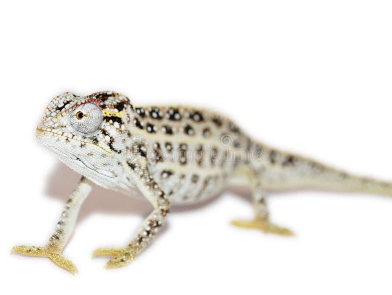 jeweled kameleon zdjęcia stock