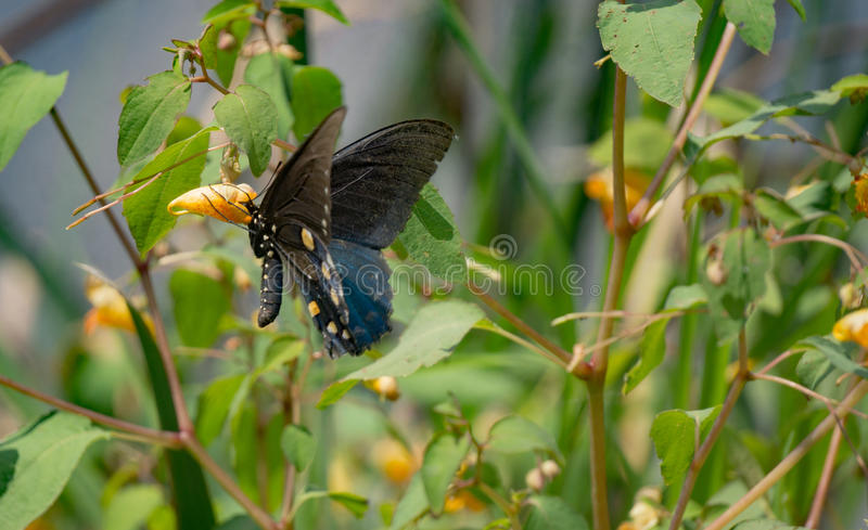 Jewelweed et papillon photo stock