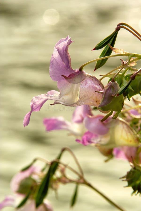 Jewelweed Flower stock photo