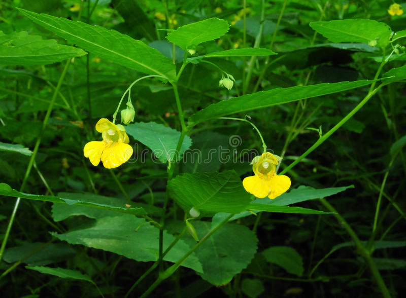 Jewelweed pallido in fiore fotografie stock