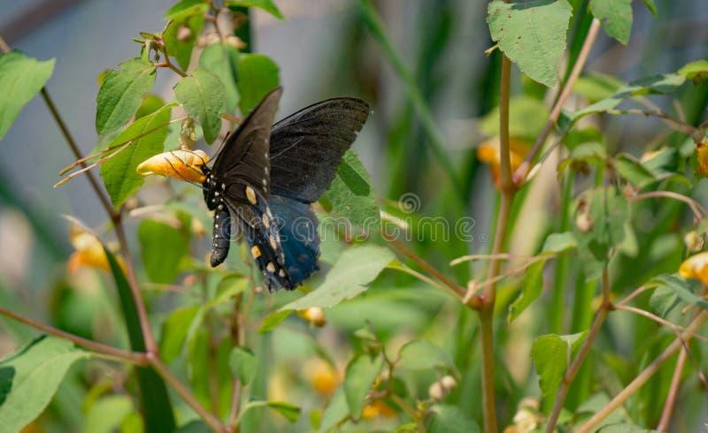 Jewelweed und Schmetterling stockfoto