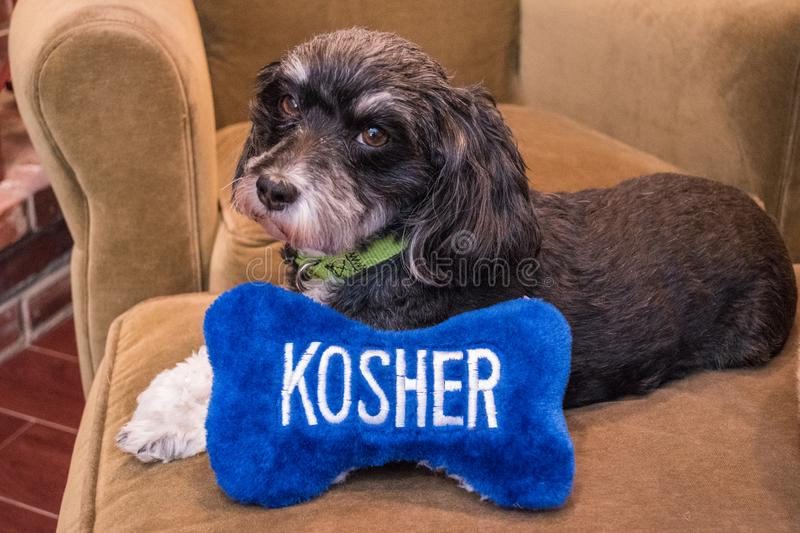 Jewish black and white Havanese puppy dog laying on a couch with a blue and white toy bone that says kosher in white letters royalty free stock images