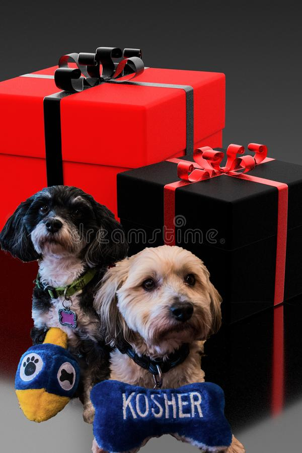 Jewish Havanese dogs holding dreidel and kosher stuffed toy dog bone sitting in front of red and black wrapped gifts for hanukkah. stock images