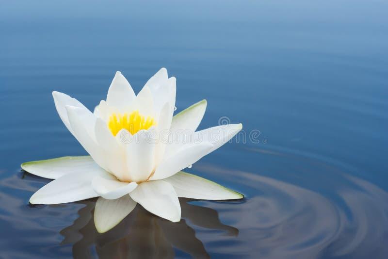Jeziora lilly biel