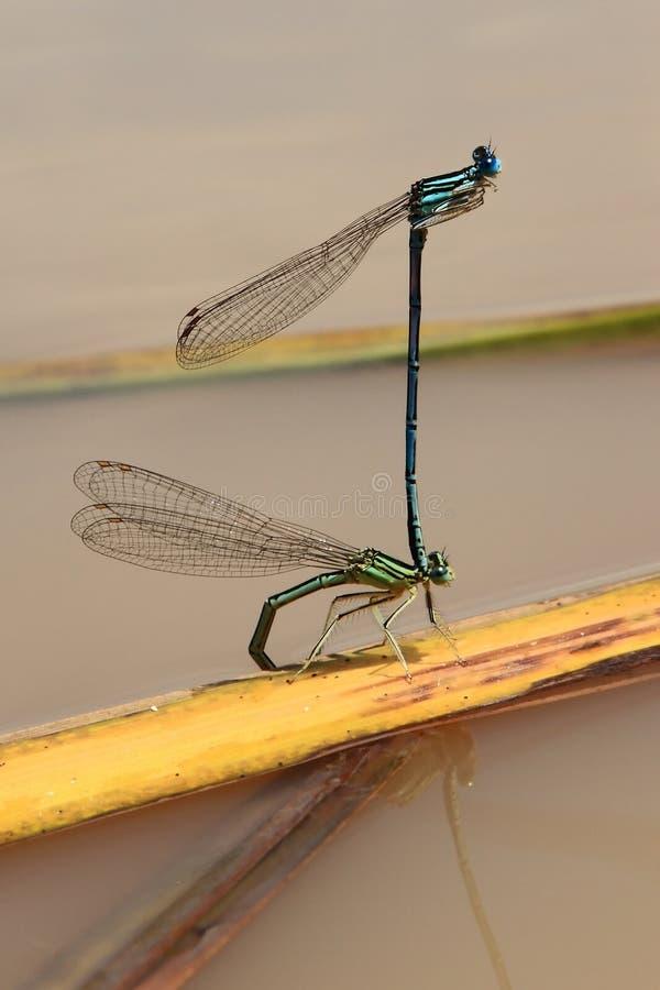 jeziorna dragonfly kotelnia zdjęcia stock