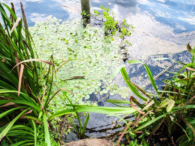 Jeziorna powierzchnia z zielonymi algami i denną trawą obraz stock
