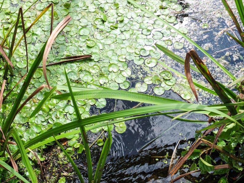 Jeziorna powierzchnia z zielonymi algami i denną trawą zdjęcia stock