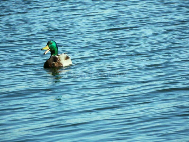 Jeziorne gąski zdjęcie stock