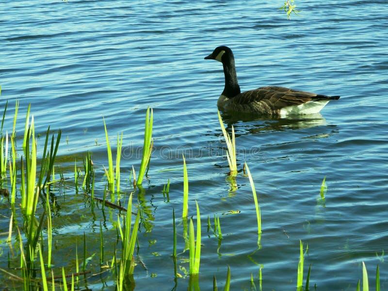 Jeziorne gąski obrazy royalty free