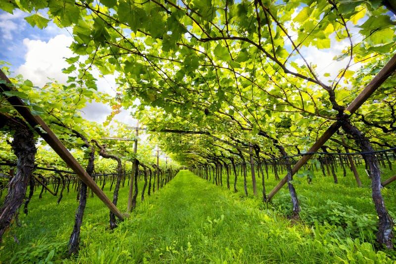 Jeziornego Caldaro winnicy Klasyczny przełożony DOC Kalterersee blisko Jeziornego Caldaro, Bolzano Włochy fotografia stock