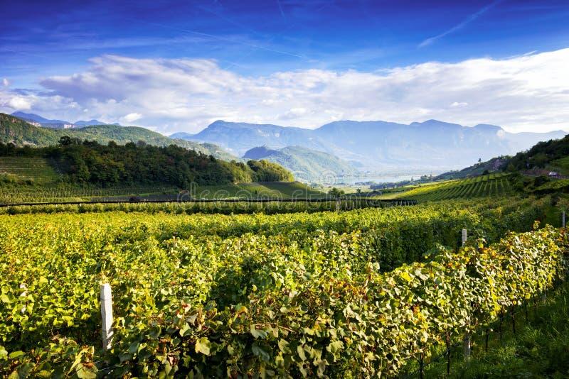 Jeziornego Caldaro winnicy Klasyczny przełożony DOC Kalterersee blisko Jeziornego Caldaro, Bolzano Włochy fotografia royalty free