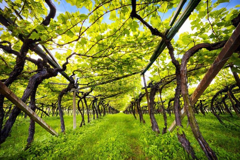 Jeziornego Caldaro winnicy Klasyczny przełożony DOC Kalterersee blisko Jeziornego Caldaro, Bolzano Włochy obrazy royalty free