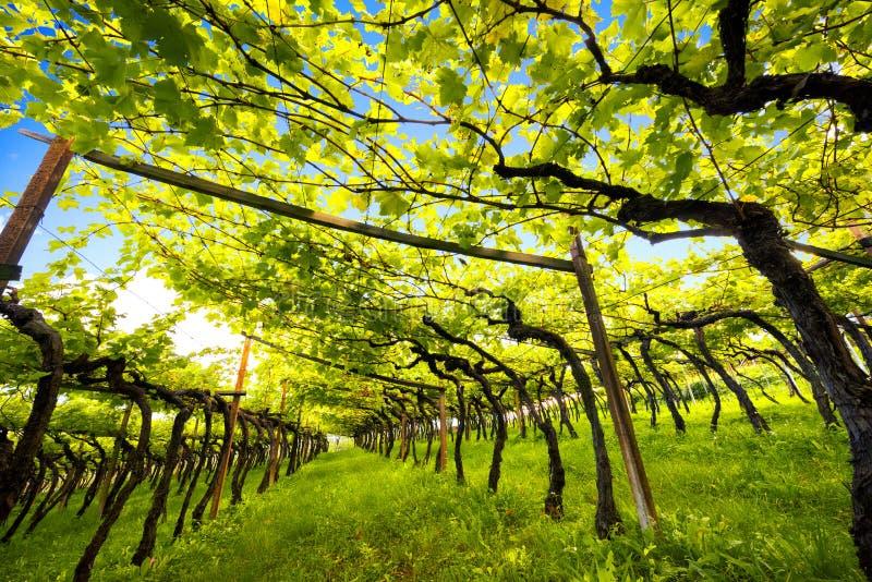 Jeziornego Caldaro winnicy Klasyczny przełożony DOC Kalterersee blisko Jeziornego Caldaro, Bolzano Włochy obraz royalty free