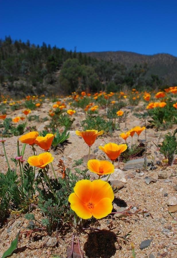 jeziornej kwiaty pomarańczy obraz royalty free