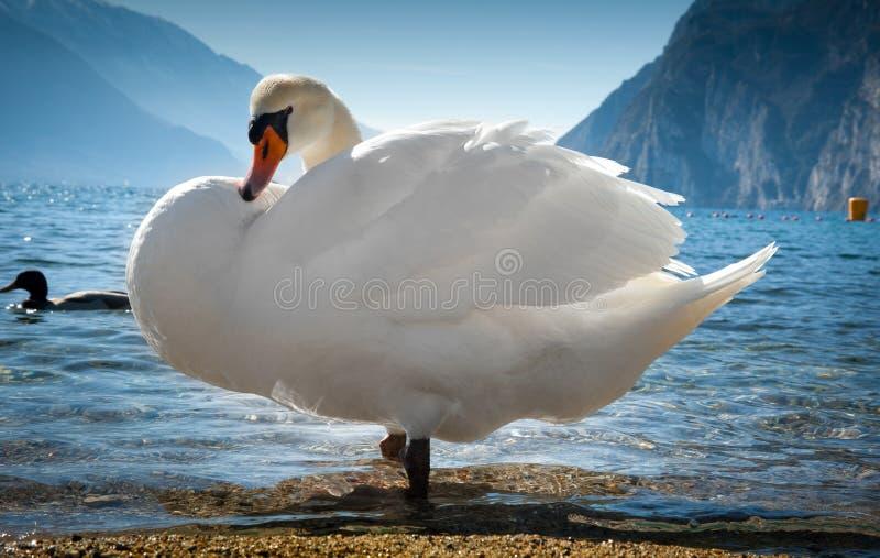 jeziorni łabędź fotografia stock
