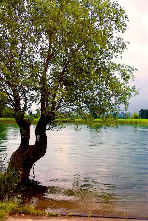 jeziorny drzewo zdjęcia stock
