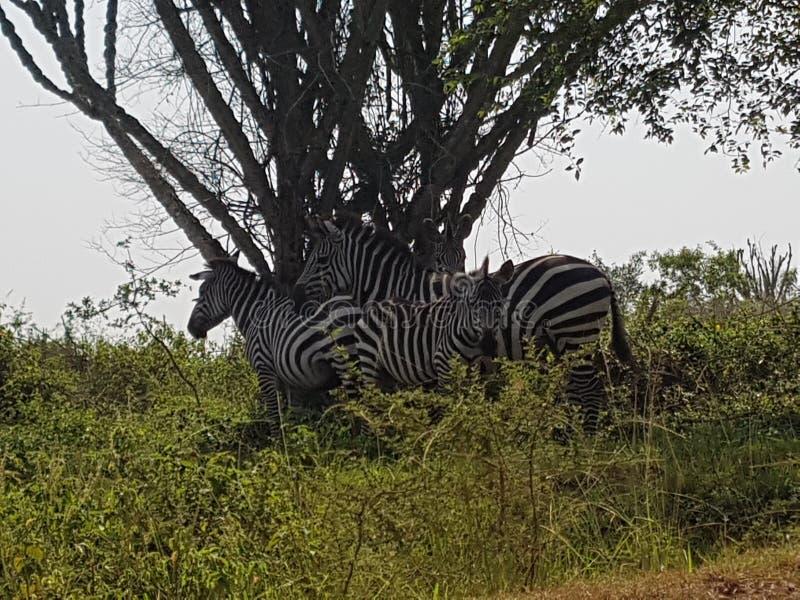 Jeziorny Mbruo Uganda Afryka zdjęcie royalty free