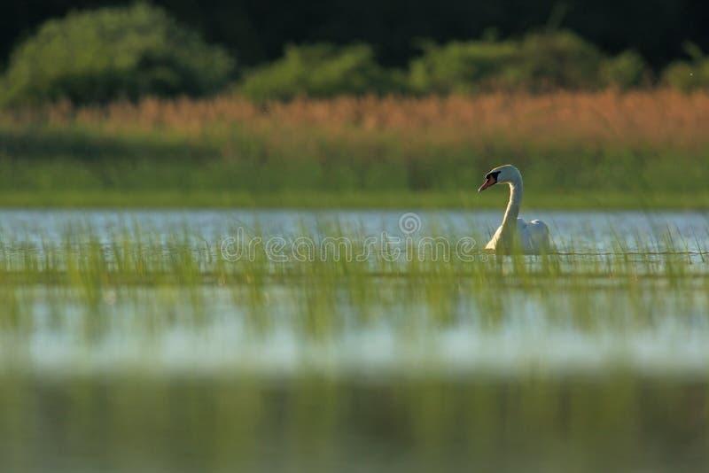 jeziorny niemy łabędź zdjęcie royalty free