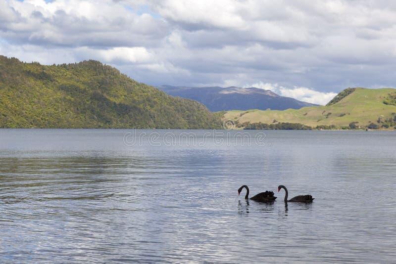 Jeziorny Okareka z czarnymi łabędź obrazy stock