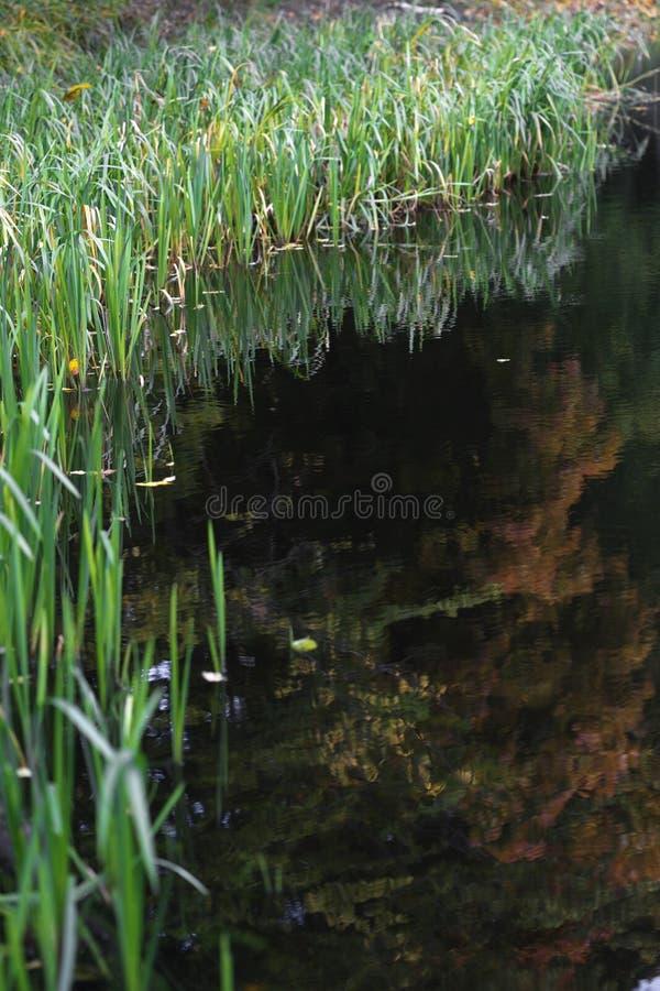Jeziorny ` s brzeg przerasta z zieloną trawą fotografia royalty free